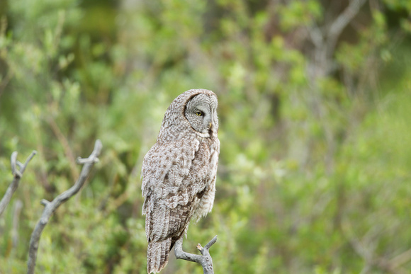 Grand Tetons Great Gray Owl_MLL5143